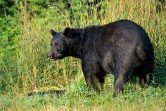 ours noir américain Bear Wallpaper, Full Hd Wallpaper, Animal Wallpaper, Panda Bear, Polar Bear, American Black Bear, Hd Backgrounds, Wallpapers, Brown Bear