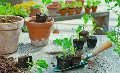 Kohlrabi pflanzen und pflegen -  Kohlrabi gehören zu den Schnellstartern unter den Kohlarten: Von der Aussaat bis zur Ernte vergehen nur wenige Wochen. Pflanzen Sie bei frühem Anbau vorkultivierte Setzlinge ins Beet. Mittelspäte und späte Sorten können Sie direkt aussäen.