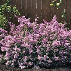 Bloomerang lilacs bloom twice per year:  Spring and mid-summer.