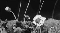 Flowers/ Zeitraffer/ http://kinoky.com