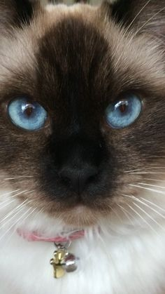 Beautiful #SiameseCat