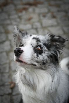 border collie blue merle #BorderCollie