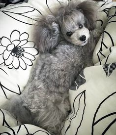 More About The Athletic Poodle Puppies I Love Dogs, Cute Dogs, French Dogs, Bulldog Breeds, Dogs And Puppies, Poodle Puppies, Doggies, Dog Life, Best Dogs