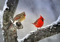 a pair of cardinals in the winter  Beautiful Together by Nava Thompson