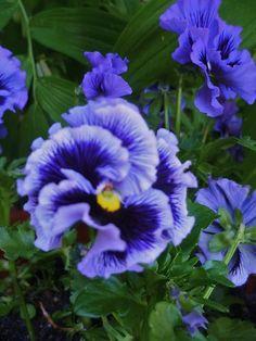 Viola 'Blue Fizz'