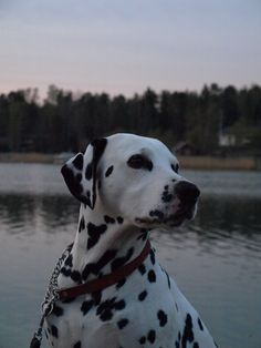 Dalmatian. This one reminds me of my old spotted girl... I swear I will own another one of these sweet dogs someday.