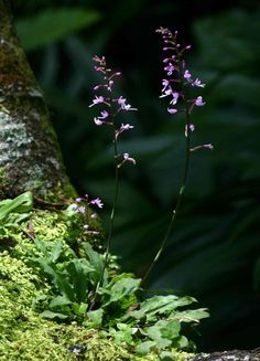 Stenoglottis zambesiaca plant  in situ in Zimbabwe, Photo by Bart Wursten ©, and his Flora Of Zimbabwe WebSite