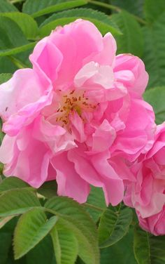 """Commonly called the """"May rose"""" for the month it comes into bloom, the Centifolia rose is a perfume flower that has long been a symbol of the Grasse region."""