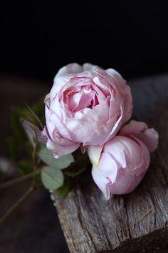 Rosas David Austin, David Austin Rosen, My Flower, Pretty Flowers, Pretty In Pink, Pink Flowers, Cactus Flower, Exotic Flowers, Yellow Roses