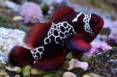 ❤Lightning Maroon C;lownfish