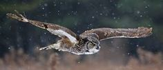 great horned owl flying - Great horned owls often wait on a high perch at night, then swoop down to silently grab prey. Grand Duc, Screech Owl, Owl Photos, Great Horned Owl, Animal Facts, Animal Fun, Z Photo, Wild Spirit, Bird Tree
