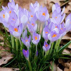 10 Saffron Crocus Flower Seeds Potted Balcony Home Garden Plant Decor Bonsai Planting Gardening DIY Heirloom