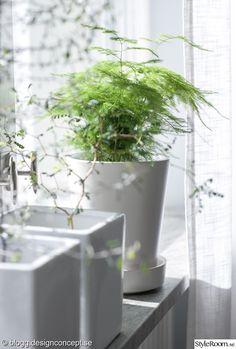 gröna växter,fjädersparris,sophora,corokia,vardagsrum