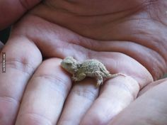 Baby Bearded Dragons | Baby Bearded Dragon