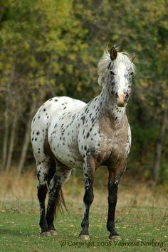 Appaloosa Horse - The Black Dog's Photographer Cute Horses, Pretty Horses, Horse Love, Black Horses, Wild Horses, Most Beautiful Horses, Animals Beautiful, Animals And Pets, Cute Animals