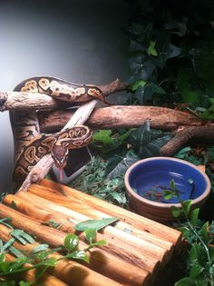 Evie thinks he is a green tree python - set up