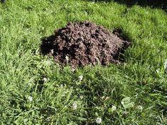 Mole hill in a lawn