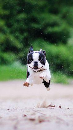 Boston terrier beautiful!