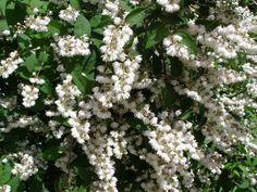Deutzia scabra - Érdeslevelű gyöngyvessző