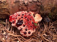 """The bleeding tooth fungus grows in Europe and North America. While young, the fungus looks like it is oozing blood. The red liquid is actually an anticoagulant. It lives on the roots of conifer trees and exchanges nutrients in a mutually beneficial relationship.Now, I know that """"bleeding tooth"""" sounds incredibly appetizing, but while they aren't toxic, they are considered inedible."""
