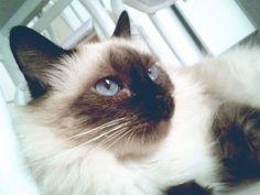 Como eu disse eu tenho uma gatinha chamada Vida. E ela é a minha gatinha Vida! Ela é siamesa, tem olho azul e é branca e preta, ela tem 5 anos e nós não vivemos sem ela!!!