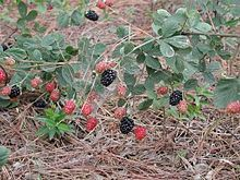 Dewberries are common throughout most of the Northern Hemisphere, sometimes thought of as a nuisance weed, but the leaves can be used for a tea, and the berries are sweet and edible. They can be eaten raw, or used to make cobbler, jam, or pie.