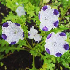 """Five spot, Nemophila maculata #botanicalinterests"" - radicle.botanical (Instagram)"