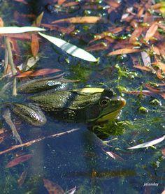 Shelburne Museum Bull Frog Lizards, Reptiles, Pond Habitat, Shelburne Museum, Amazing Frog, German Fairy Tales, Salamanders, Beta Fish, Pond Life