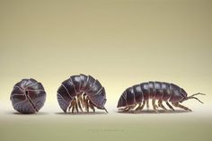 Pill bug, or roley poley :)