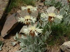 Centaurea appendicigera,Pontic Alps,Turkey