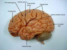Billedresultat for brain gyrus labeled model lab