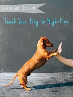 Ammo the Dachshund // Let's Get Tricky // Teach Your Dog to High-Five