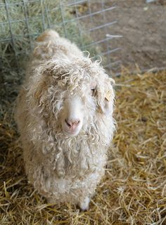Angora goat, so cute!