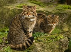 There Are Only 35 Of These Fierce Creatures Left In The World. Is It Too Late To Save Them? Scottish wildcats are among the rarest animals in the world.