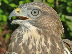 A licence to kill buzzards – a protected species that was hunted to extinction…