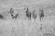 Elands, Parque de la naturaleza de #Cabarceno #Cantabria #Spain
