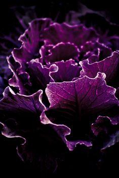 Purple | Porpora | Pourpre | Morado | Lilla | 紫 | Roxo | Colour | Texture | Pattern | Style | Form | Cabbage
