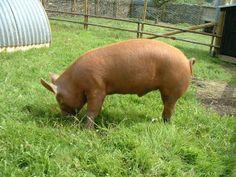 Tamworth Pigs | Tamworth pigs -ready to go ?