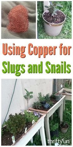 Slugs do not like to crawl across copper so it can be a very effective deterrent in your garden. This is a guide about using copper for slug and snail control. Bug Control, Pest Control, Organic Insecticide, Pulling Weeds, Bees And Wasps, Pest Management, Garden Guide, Garden Ideas, Garden Inspiration