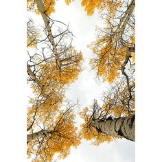 looking up Aspen trees in fall colors, Colorado