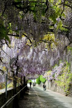 wisteria tunnel, Vevey, Switzerland