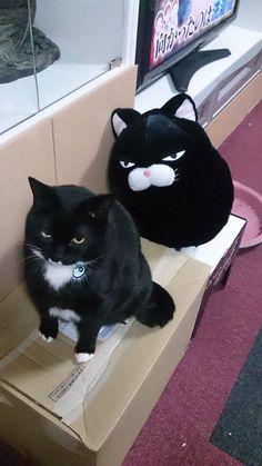 我一定要買到這隻布偶~~ 真的太像了!! #尤其那眼神   -@akahina1108-... https://www.facebook.com/groups/parkcat/          #貓  原文請看
