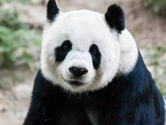 Why are giant pandas black and white?