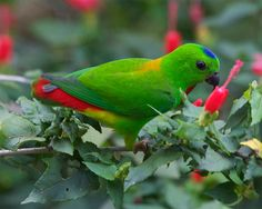 BLUE CROWNED LORIKEET....aka the blue crowned lory, Solomon lory, & Samoan lory....a lorikeet found throughout the Samoa and Tonga islands and Lau archipelago....measures 7.4 inches long....prefers areas with flowering trees, including coconut plantations and gardens