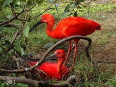 Tupi Red Birds Also known as the Scarlet Ibis, one of the most beautiful Brazilian birds because of the color of their plumage.