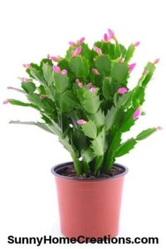 How to Grow a Christmas Cactus – Sunny Home Creations Cactus House Plants, Indoor Cactus, Cactus Cactus, Cacti Garden, Christmas Cactus Plant, Painted Rock Cactus, Flower Pot Design, Low Light Plants, Container Gardening