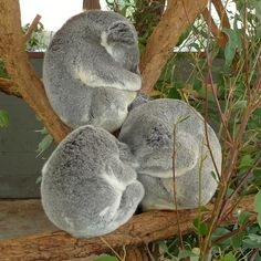 sleeping koala - Google Search