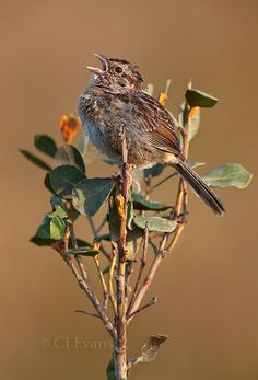 Bachman's Sparrow singing on Rusty Lyonia perch (Kissimmee Prairie Preserve) - vertical