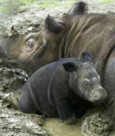 Meet the Sumatran Rhino. They are critically endangered and live in diminished populations in the wild. Wouldn't you like to adopt one for Christmas? http://www.rhinos-irf.org/adoptarhino/
