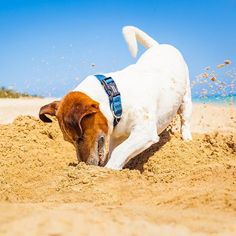 Here are some requirements of dog ownership you might want to think through before ever setting foot in a dog adoption center. Stop Dogs From Digging, Jack Russell Dogs, Ocean Shores, Dog Safety, Real Friends, Dog Houses, Dog Photos, Large Dogs, Rescue Dogs